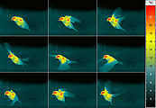 Thermographic capture of the flight of a bird