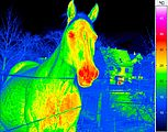 Thermal imaging of a horse