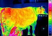 Thermal image of a cow