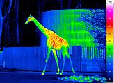 Thermal imaging of a giraffe