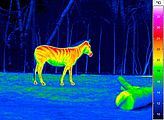 Thermography Veterinary Medicine - Examination of a zebra
