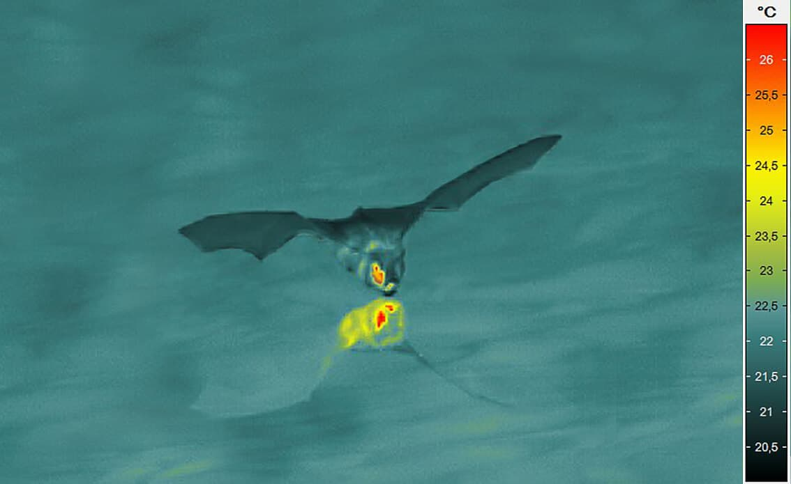 Bat above a lake (image with very short integration time: ImageIR® 8800)