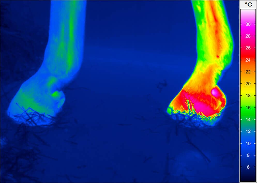 Thermal image of horse hooves